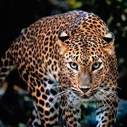 INDIA NOW HAS 12852 LEOPARDS